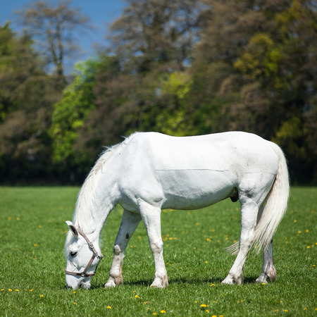 Arabian white  horse in a green field  photo