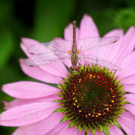 Dragonfly sitting on pink echinacea  flower photo