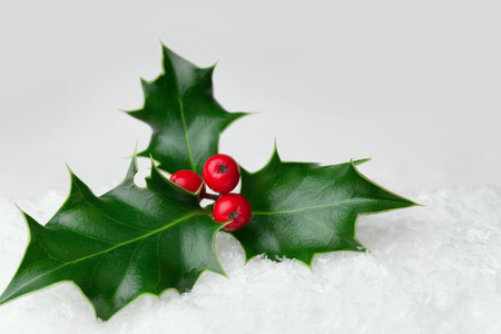 ice plant: Christmas holly leaf with red berries in the snow
