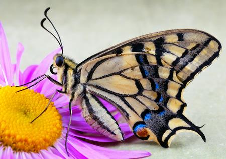 Beautiful male tiger swallowtail butterfly on flower photo