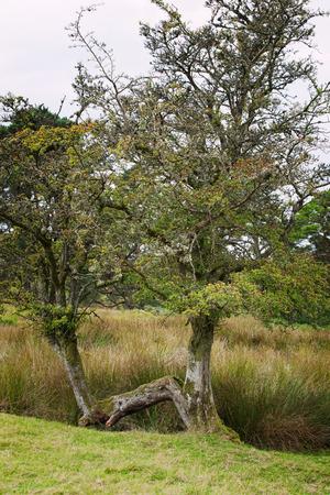 fairy tree: An old mystical fairy tree