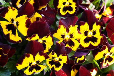 "caoba: Flores hermosas del pensamiento ""Joker Caoba Oro"""