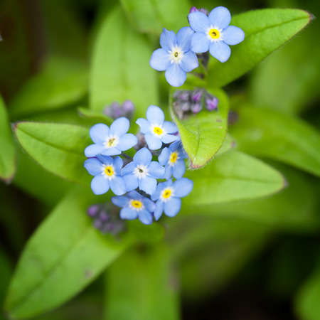 forget: Close-up on a little blue forget me not flower Stock Photo