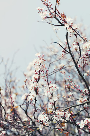 tender tenderness: Cherry blossom branch on a  spring day Stock Photo