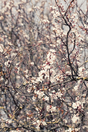 tender tenderness: Spring cherry blossom tree on a sunny  day on a snowy white background