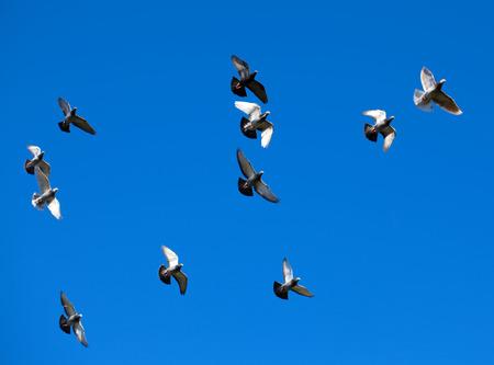 palomas volando: Palomas Tamed libre volando en los cielos azules vivos