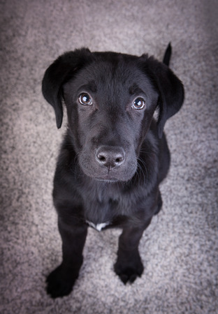 eloquent: A black labrador retriever looking at up at you with its eloquent eyes