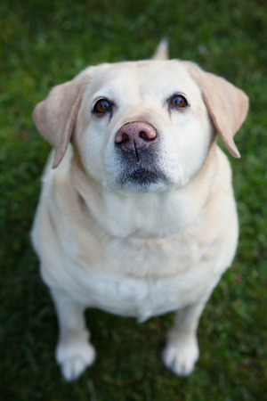animal nose: Golden labrador retriever with her funny pink misshapped nose looking up at you while she is sitting in the grass (focus on nose) Stock Photo