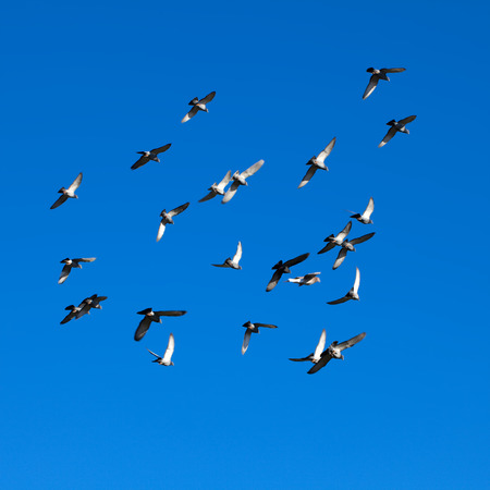 palomas volando: Palomas Tamed libre volando en los cielos claros, azules vivos