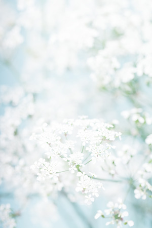 unclear: White flowers on a blurred background with a soft filter Stock Photo