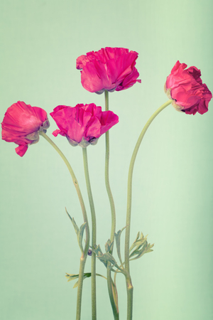Hot pink buttercups on a pastel green background Standard-Bild