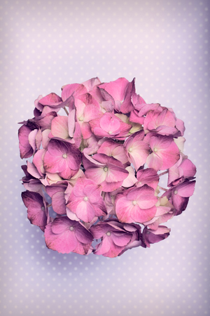 mothersday: Pretty hortensia flower on a purple polka dot background