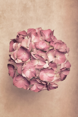 mothersday: Pretty hortensia flower on a light brown background