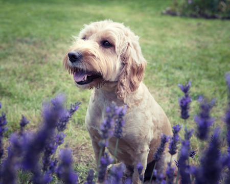 A Cockapoo dog sitting behind a lavender bush looking in the distance Stock Photo