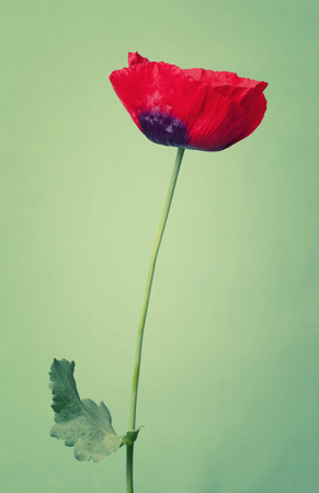 summers: Bright poppy  flower on a summers day color background