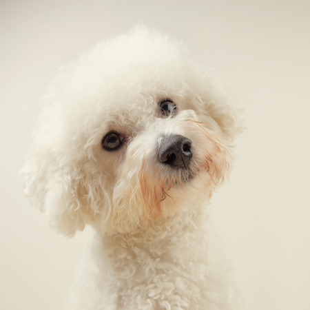 interested: Bichon frise dog that looks interested on a warm color background