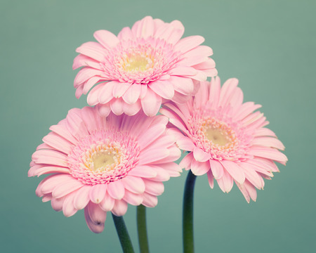 minty: Pink daisy flowers on a green background Stock Photo