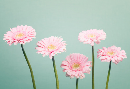 minty: Soft pink daisy flowers on trendy cool mint background Stock Photo