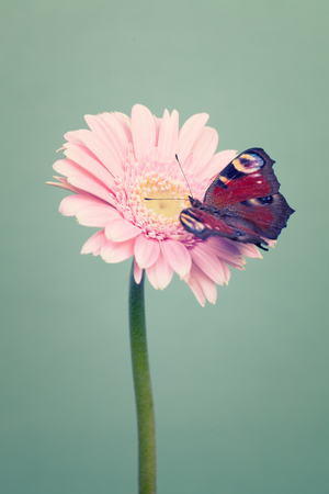 cool mint: Beautiful red  butterfly on a  pink  flowers on trendy cool mint color background