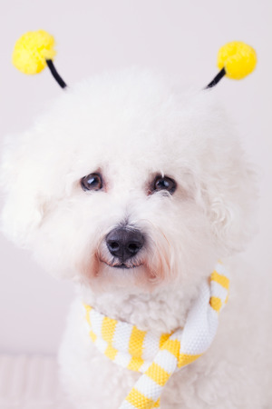 bichon: Portrait of a happy Bichon frise dog with a yellow scarf and things on its head