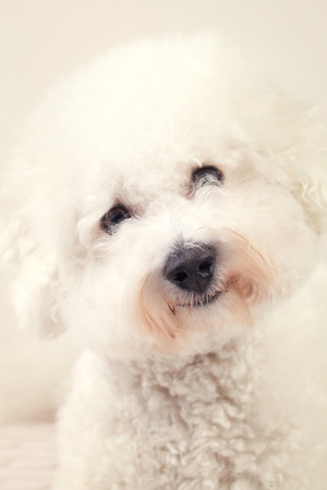 bichon: Bichon frise dog with his black eyes and fluffy white coat smiling happily with his head tilted