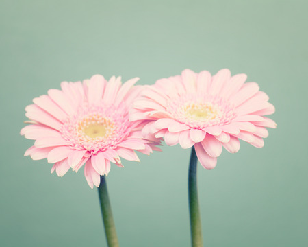 minty: Soft pink daisy flowers on trendy green background Stock Photo