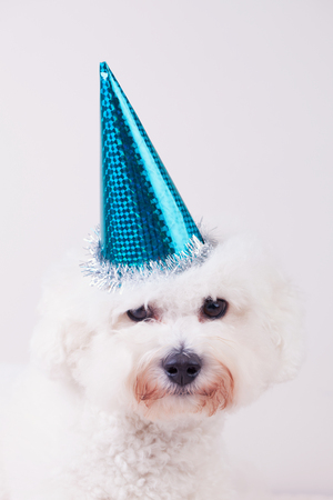 bichon: Portrait of a happy toy dog with a blue party hat