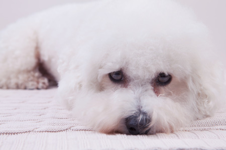 lap dog: A cute  Bichon frise dog lying on a knitted fabric