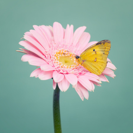 cool mint: Yellow small butterfly on a  pink daisy flowers on trendy cool mint background