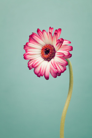 cool mint: Red gerbera flowers on trendy cool mint background