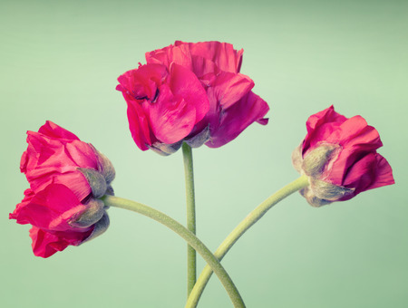 persian buttercup: Red persian buttercup on  a vintage turquoise background