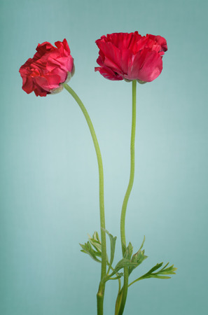 persian buttercup: Red persian buttercup bouquet on a light blue background Stock Photo