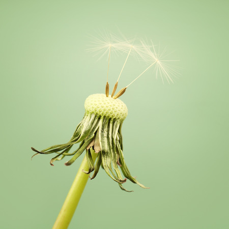 seeding: A dandelion with three seeding left on a soft green background