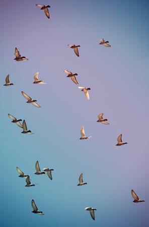 palomas volando: Una bandada de palomas volando en el cielo entonado con filtros retro
