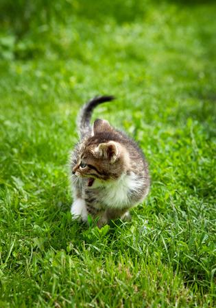 One little brown kitten meowing outside