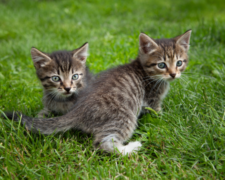 Two brown cute kittens playing outside in a green grass Stock Photo