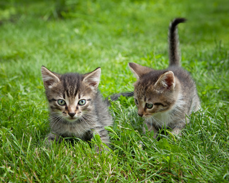 messing: Two small  kittens standing in the grass messing around Stock Photo