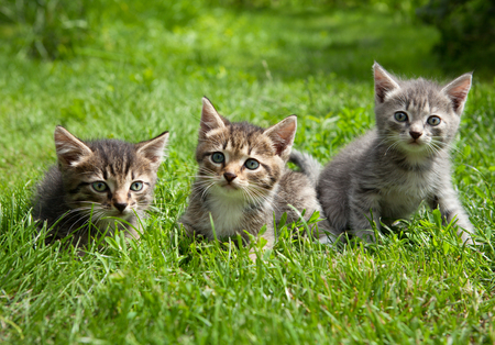 messing: Three young cute kittens standing in the grass messing around and are looking at the camera