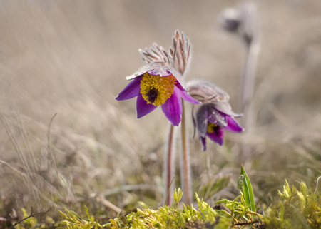 Pasque flower is a low-growing perennial