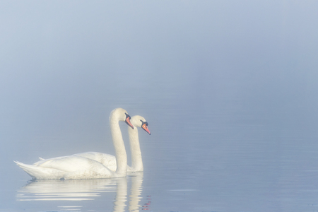 A pair of white swans swimming on the river. Swans are a symbol of loyalty in the relationship of loving people. Imagens
