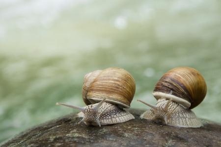 Deux escargots rampant sur la pierre au bord d'une rivière de montagne. Banque d'images