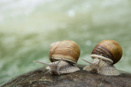 Two snails crawling on the stone on the bank of a mountain river.