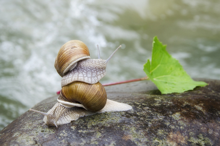 Two snails crawling on the stone. Photo overlooking the mountain river