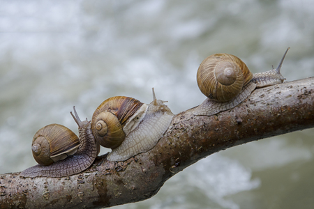 Three snails crawling along the branch overtaking each other. It is goal pursuit