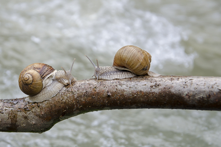 Two snails crawling along the branch