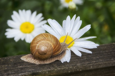 Snail and flower photographed close-up