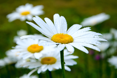 Blooming daisies in the spring meadow Фото со стока - 115791137
