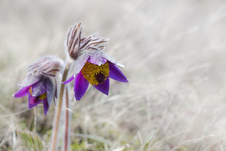 Pasque flower is one of the earliest blooming perennials. Фото со стока