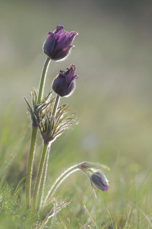Pulsatilla vulgaris is early-growing perennial plant Фото со стока