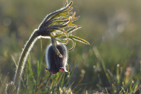 Pulsatilla vulgaris forms very beautiful flower. It is early-growing perennial plant